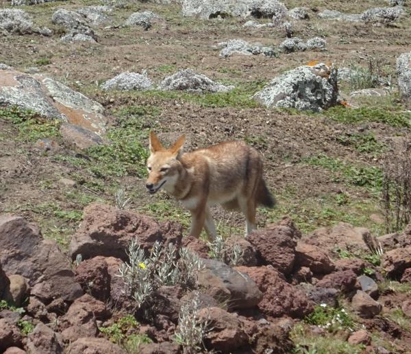 Bale Mountain Wolf