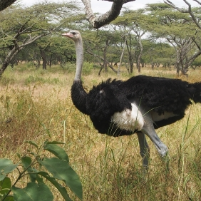 Ostrich Shala Hawassa